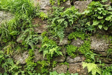 close-up view of stone wall and green fern with moss growing through stones in Indian Himalayas, Dharamsala, Baksu