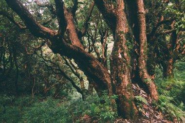 Majestic trees growing in Indian Himalayas, Dharamsala, Baksu stock vector