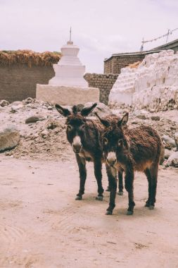 Two funny donkeys looking at camera while standing near stupa in Leh, Indian Himalayas stock vector