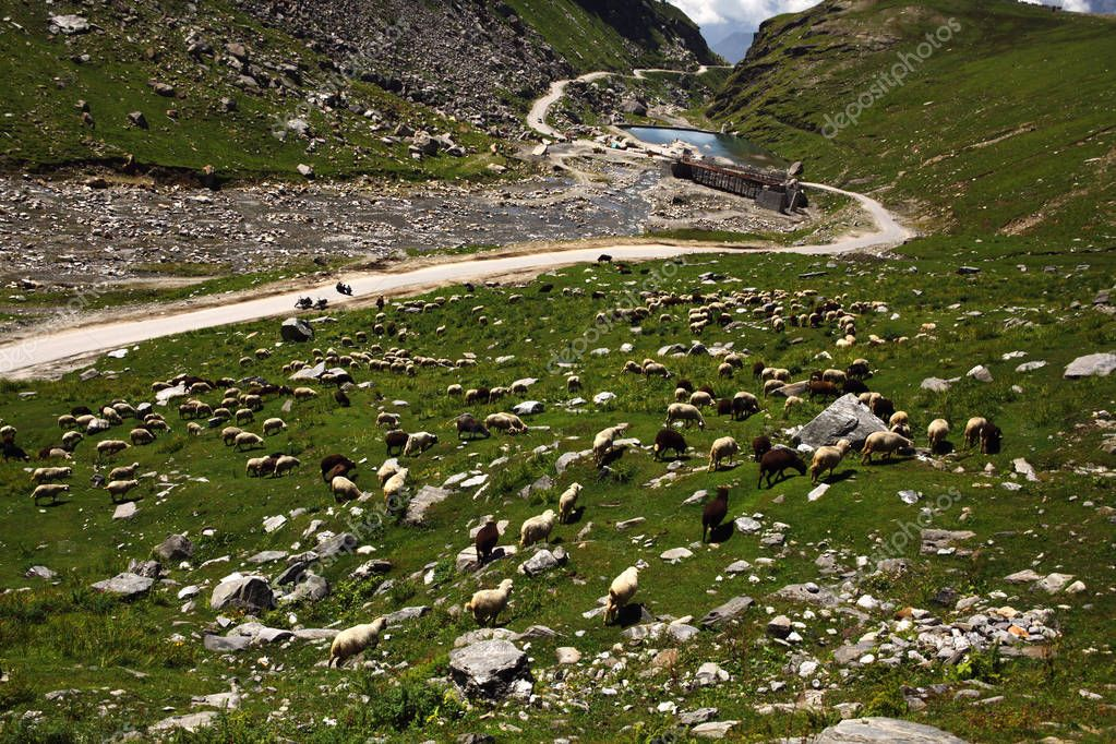 sheep grazing in beautiful mountain valley, Indian Himalayas, Rohtang Pass