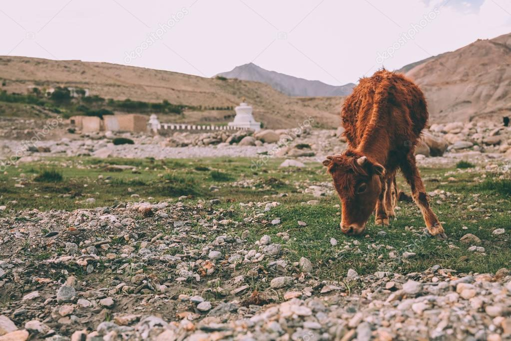 brown cow grazing on grass in Indian Himalayas, Ladakh region