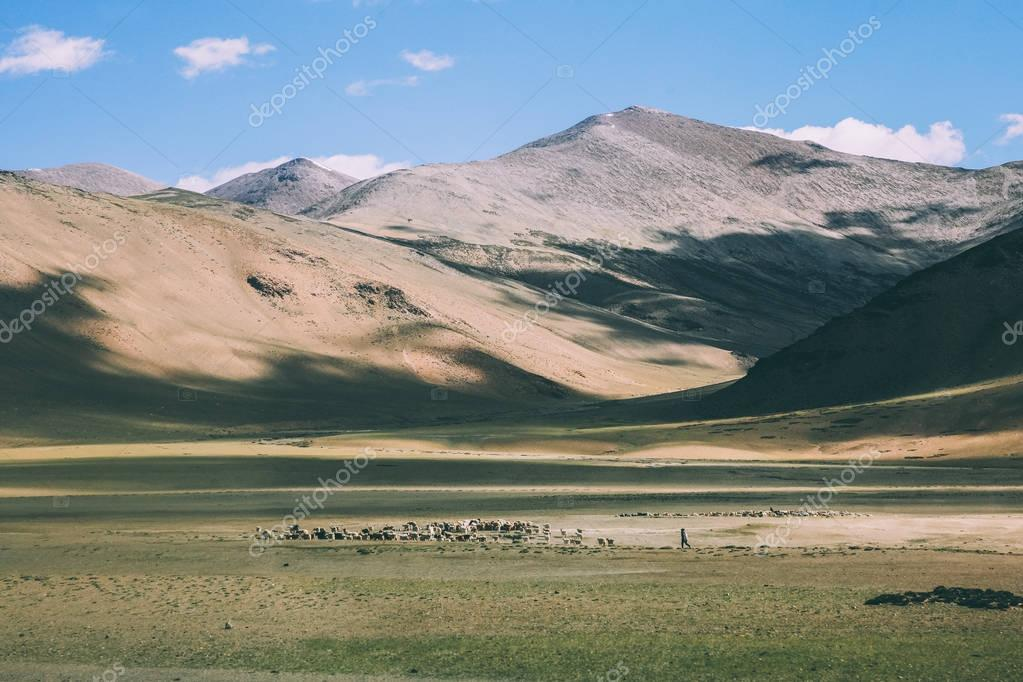 herd of sheep grazing on pasture in rocky mountains, Indian Himalayas, Ladakh