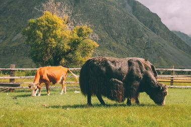 cow and bison