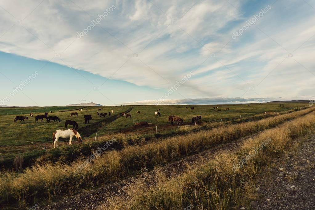 horses grazing on green pasture in Iceland