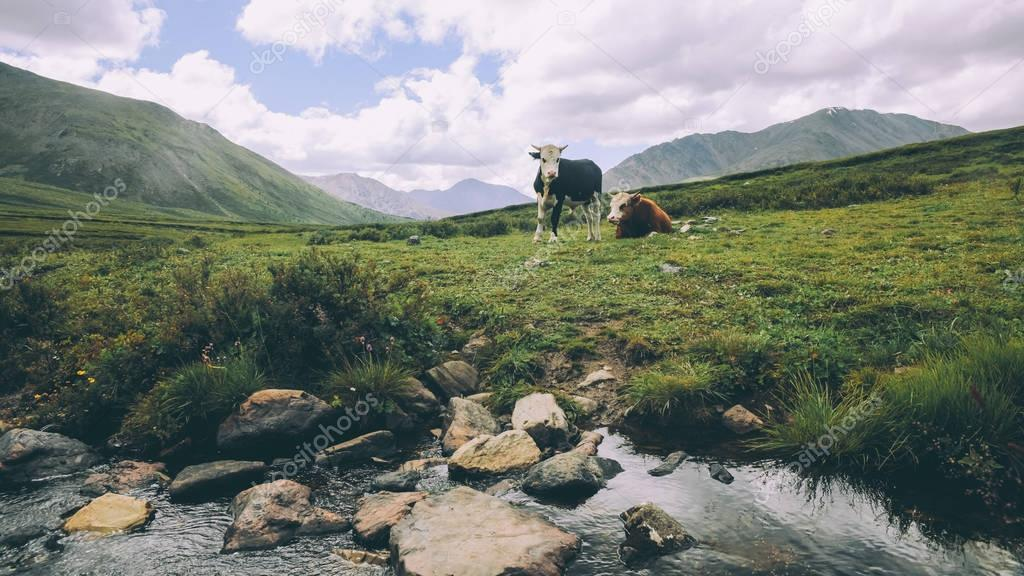 cows grazing on green grass in mountain valley, Indian Himalayas, Rohtang Pass
