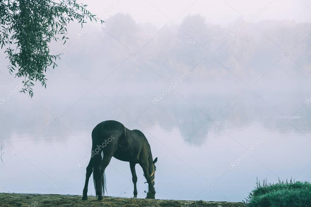 beautiful black horse grazing on green pasture in Altai, Russia