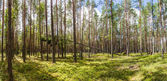 green trees and vegetation in beautiful forest, naliboki forest, belarus