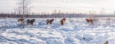 Beautiful brown horses walking in snow, yakutia stock vector