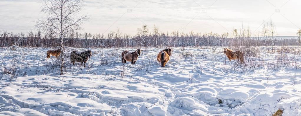 Beautiful brown horses walking in snow, yakutia stock vector