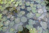 Photo lilies