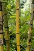 Fotografie bambusy