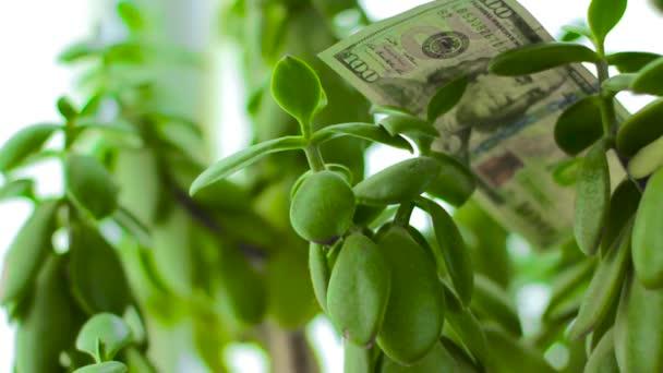 Crassula Money tree with falling dollars