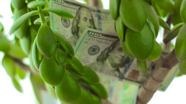 Crassula Money tree with dollars