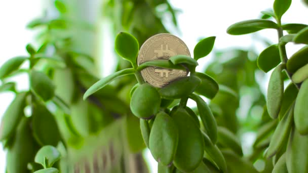 Bitcoin on Crassula Money tree with falling dollars