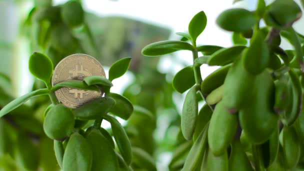 Bitcoin on Crassula Money tree with dollars