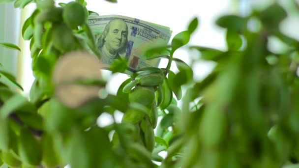 Bitcoin on Crassula Money tree with dollar