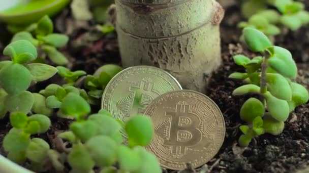 Bitcoins among little Crassula Money trees