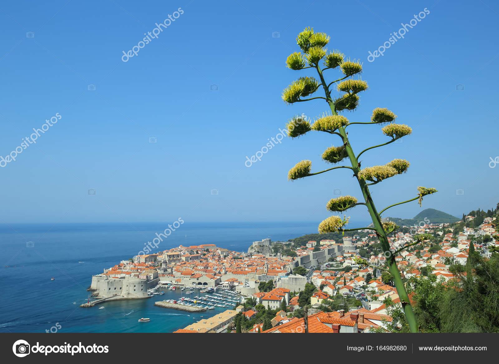 Fleur D Agave Traquer Avec Vue Sur Dubrovnik Photographie Dellfoto