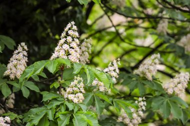 Detail of a white blooming flowers of European horse chestnut tree.