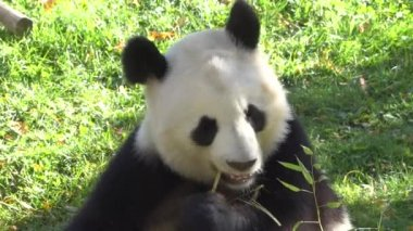 a Giant Panda chewing bamboo
