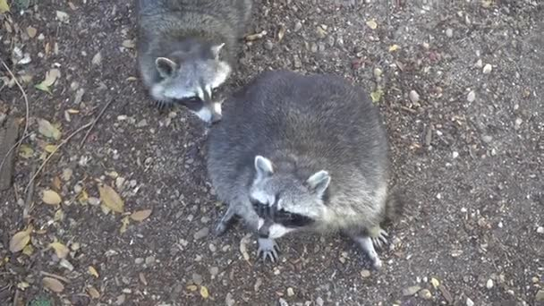 Two funny, fluffy raccoons chilling and doing nothing