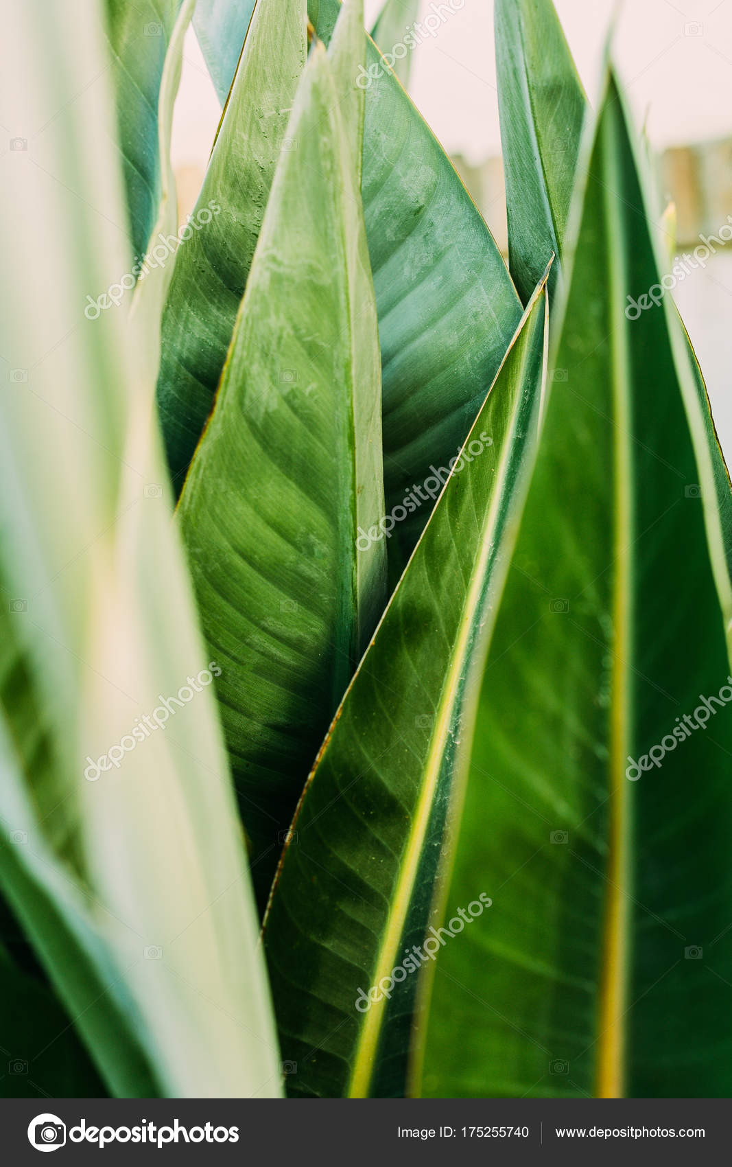 Áˆ Tropical Leaves Wallpaper Stock Photography Royalty Free Tropical Leaves Photos Download On Depositphotos Download all photos and use them even for commercial projects. https depositphotos com 175255740 stock photo close shot green tropical leaves html