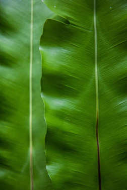 close-up shot of green banana leaves as background