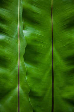 close-up shot of banana leaves as background