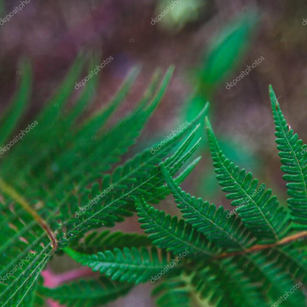 close-up shot of fresh fern leaves for background