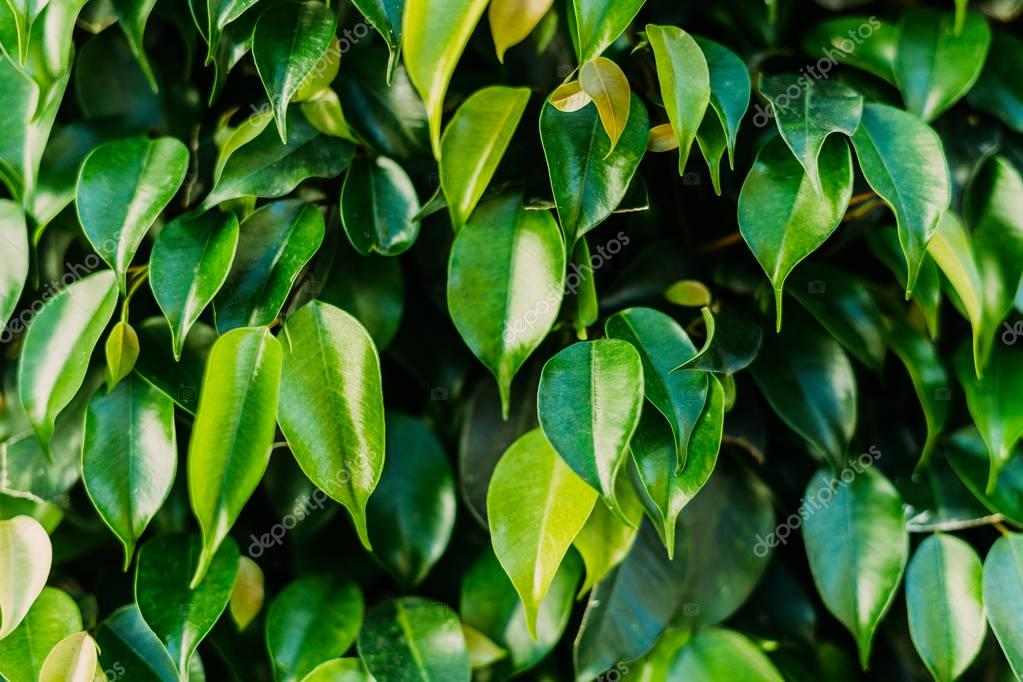 close-up shot of beautiful ficus leaves as background