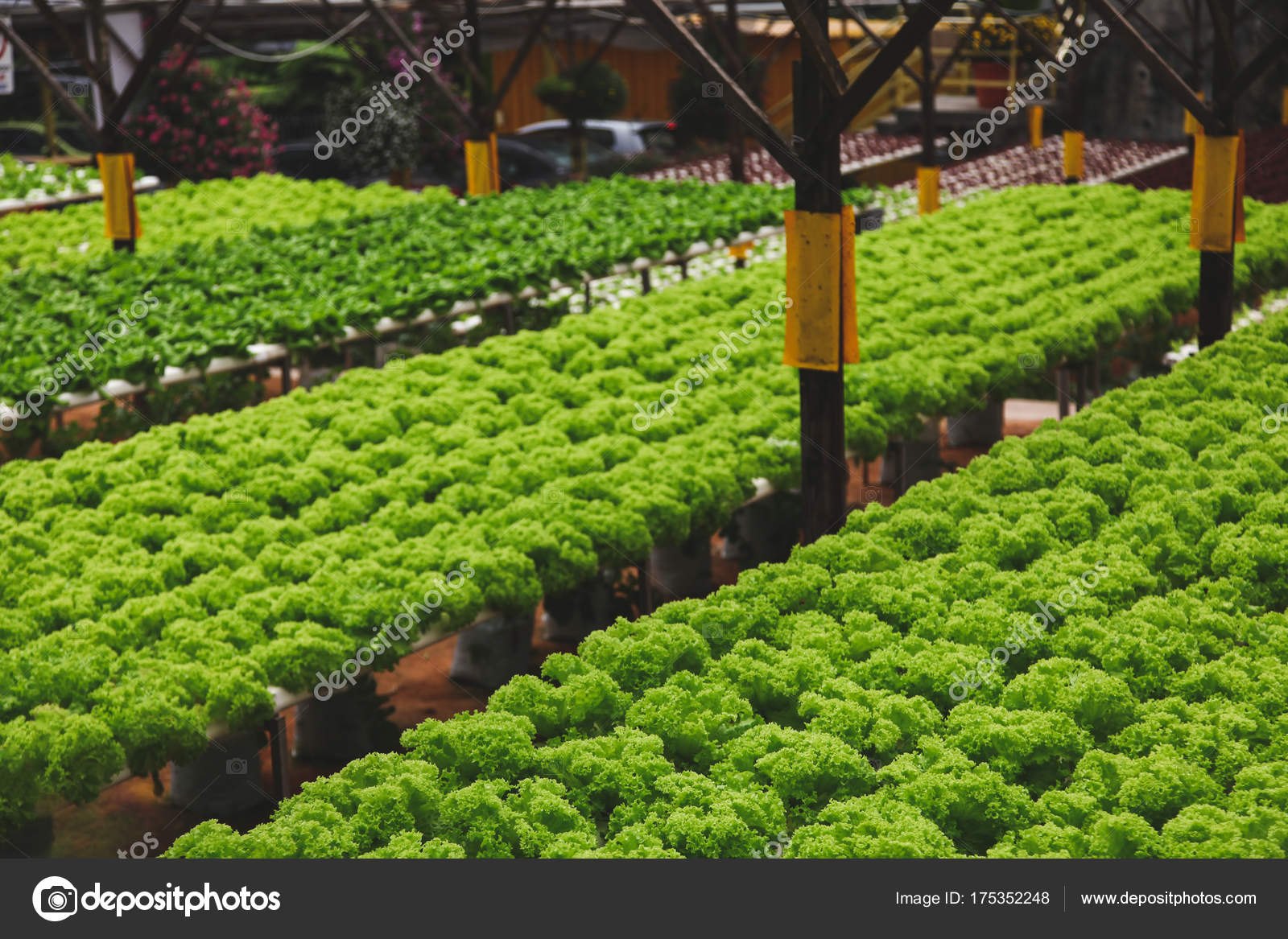 Rows Fresh Green Lettuce Growing Indoors Plantation Stock Photo