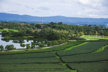 aerial view of green tea plantation at thailand on sunny day
