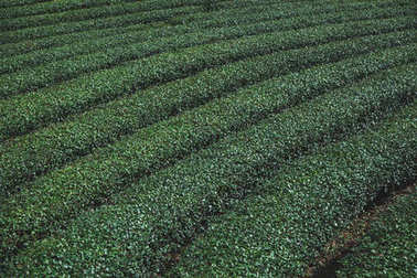rows of green tea plantation for background