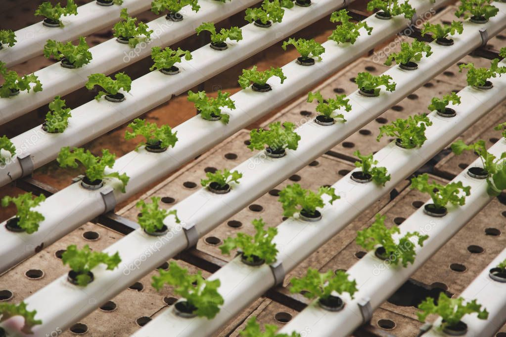 close-up shot of rows of lettuce cultivating at greenhouse