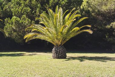 huge date palm on green lawn