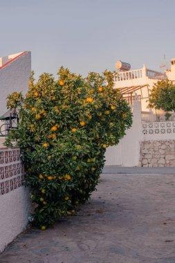 orange fruits tree on spanish street