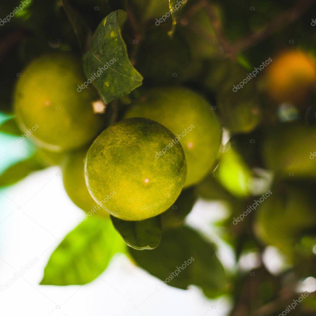 green mandarins grape on tree branches