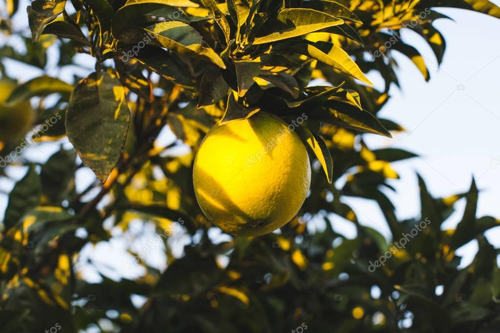 ripe orange fruit on green tree branches