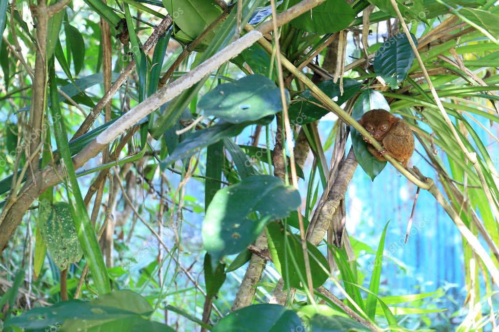 Tarsier, endemic animal at the Bohol Island, Philippines