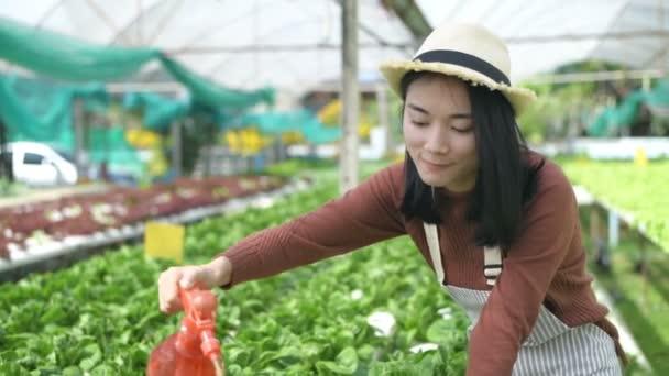 Zemědělské koncepce. Zahradníci zalévají zeleninu v zahradě. Rozlišení 4k.