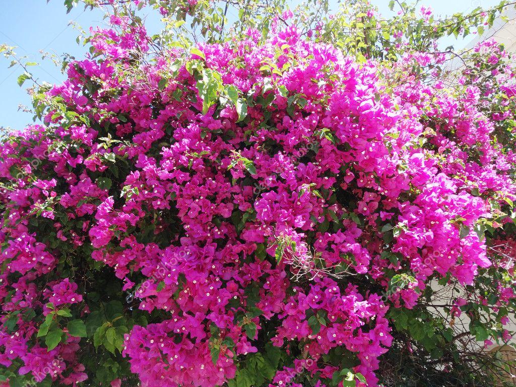 Fotos Arbustos Con Flores Rojas Arbusto De Flores Rojas - Arbustos-de-flor