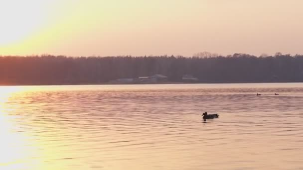 Wild duck on the lake at sunset