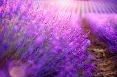 Kvetoucí pole fialové levandule v Provence, Francie