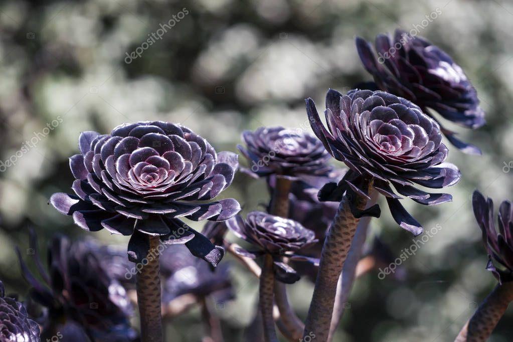 Aeonium succulent background
