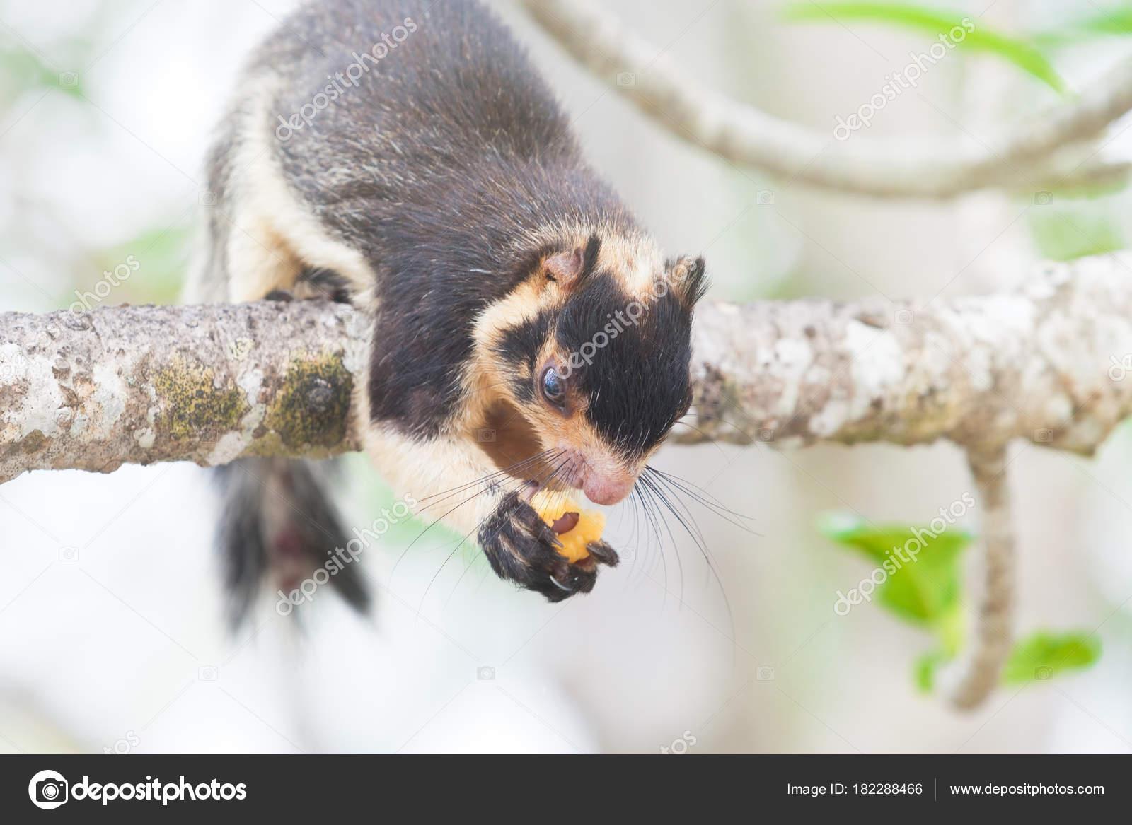 Riesen-Eichhörnchen