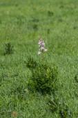 Dictamnus albus rostlina divoký květ, krásné bílé růžové květy v květu, zelené pozadí