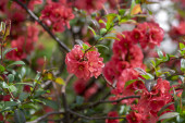 Ornamental flowering shrub Chaenomeles japonica cultivar superba with beautiful light pink petals and yellow center, early flowers in bloom