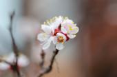 Švestkové květy. Kvetoucí švestková větev s velkými bílými květy. Kvetoucí. Jaro. Krásné přírodní sezónyjsem pozadí s švestkovými květy stromu. květy.