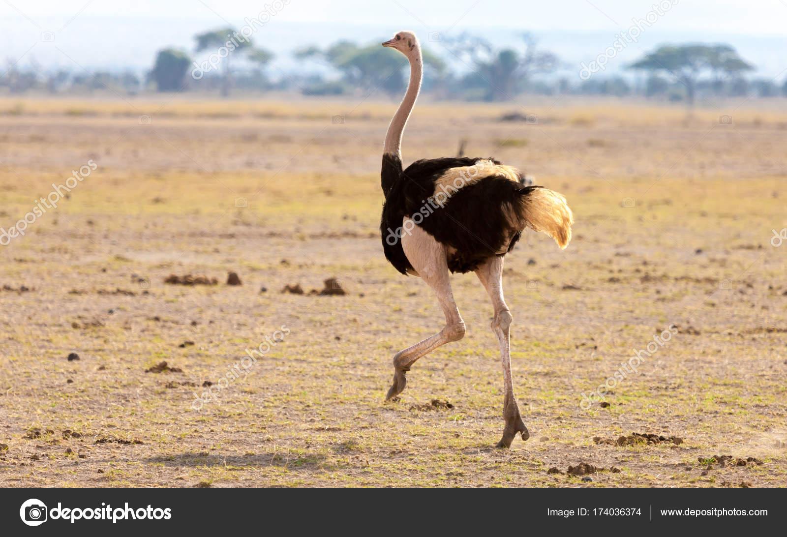 Ein Strauß Läuft Auf Safari In Kenia Stockfoto 25ehaag6 174036374