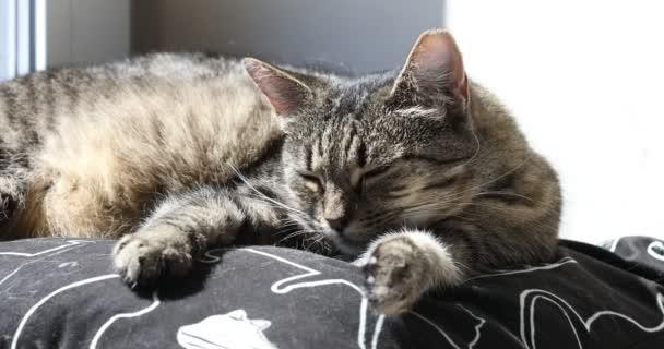 zdříml tabby kočka pomalu otevře oko, pak se probudí ze spánku, ospalá kočka se pomalu probouzí ze svého odpoledního spánku